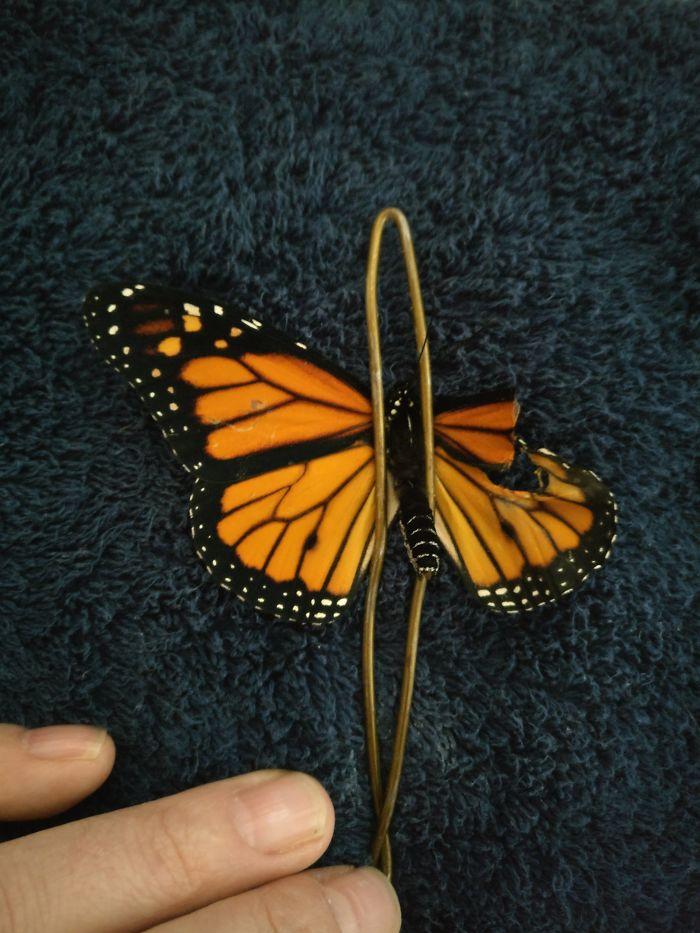تجهيز الفراشة وقطع الأجزاء التالفة فى جناحها
