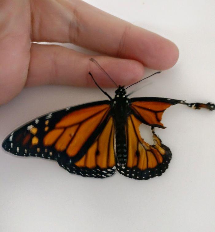 يبلغ عمر هذه الفراشة 3 أيام