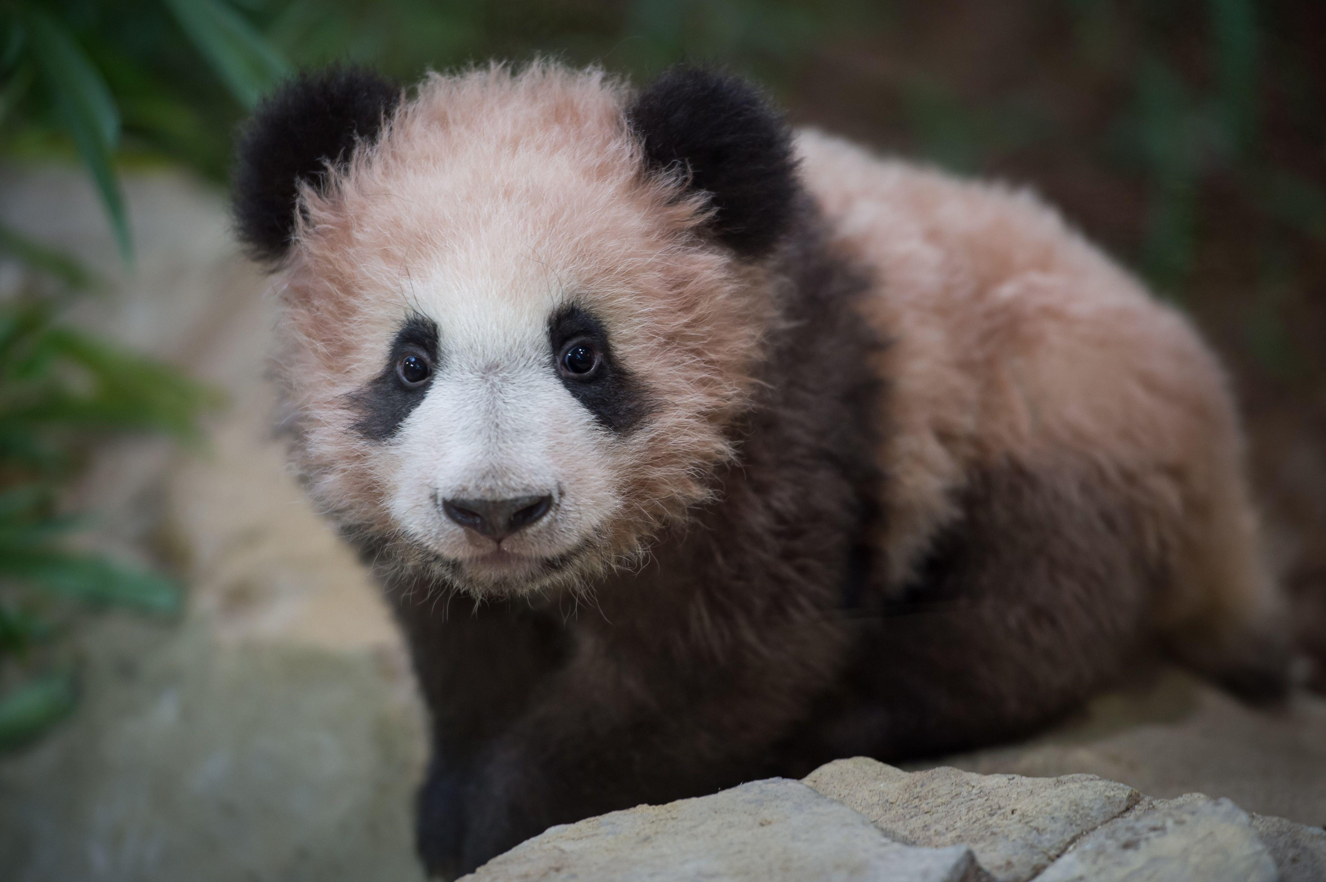 الباندا الصغيرة