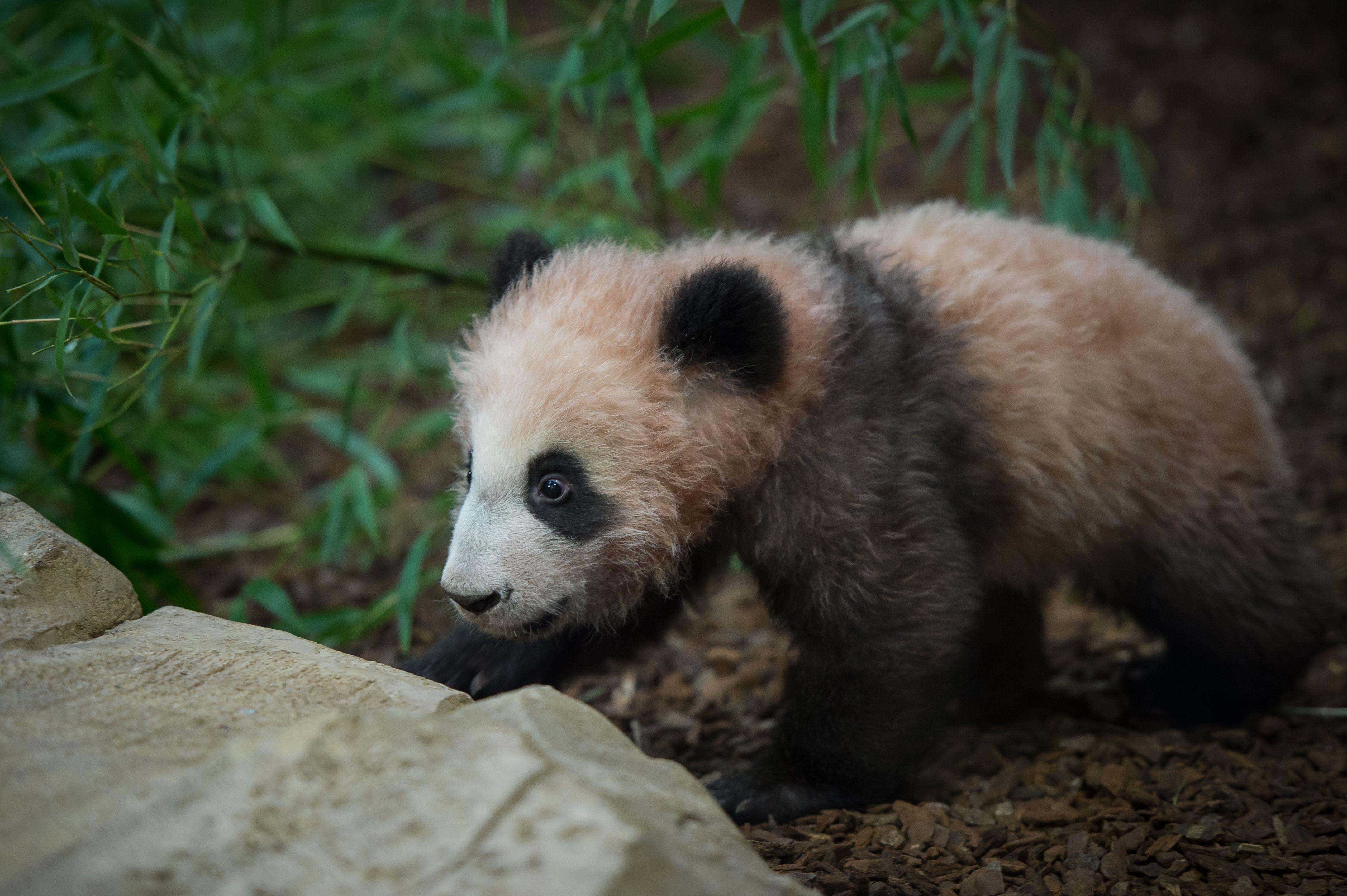الباندا الصغيرة بفرنسا