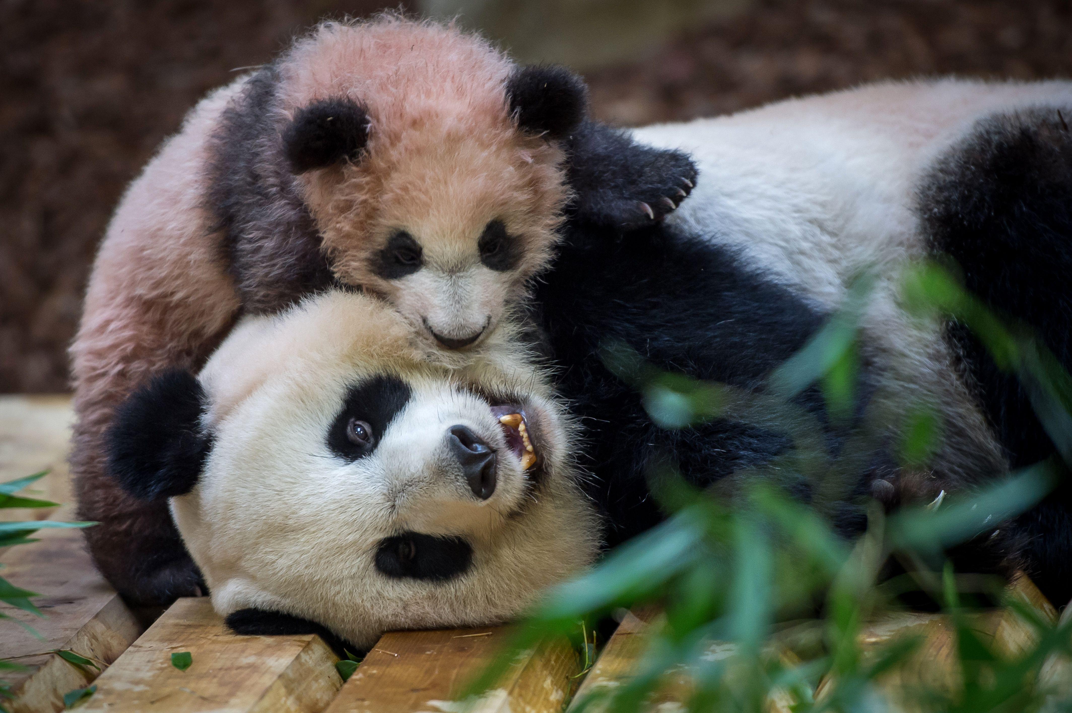 الباندا الصغيرة مع والدتها فى حديقة حيوان فرنسا