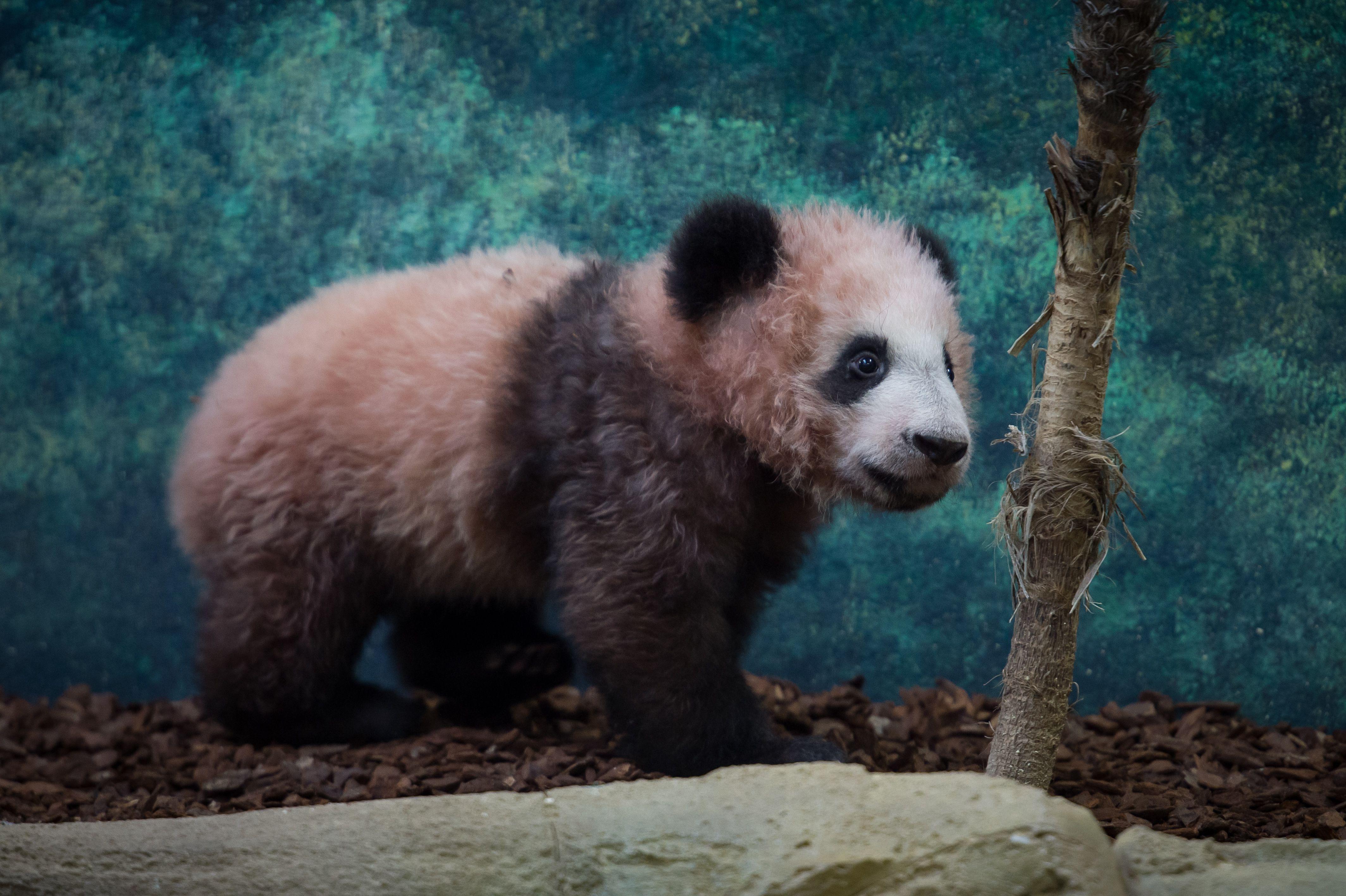 الباندا الصغيرة فى حديقة حيوان فرنسا