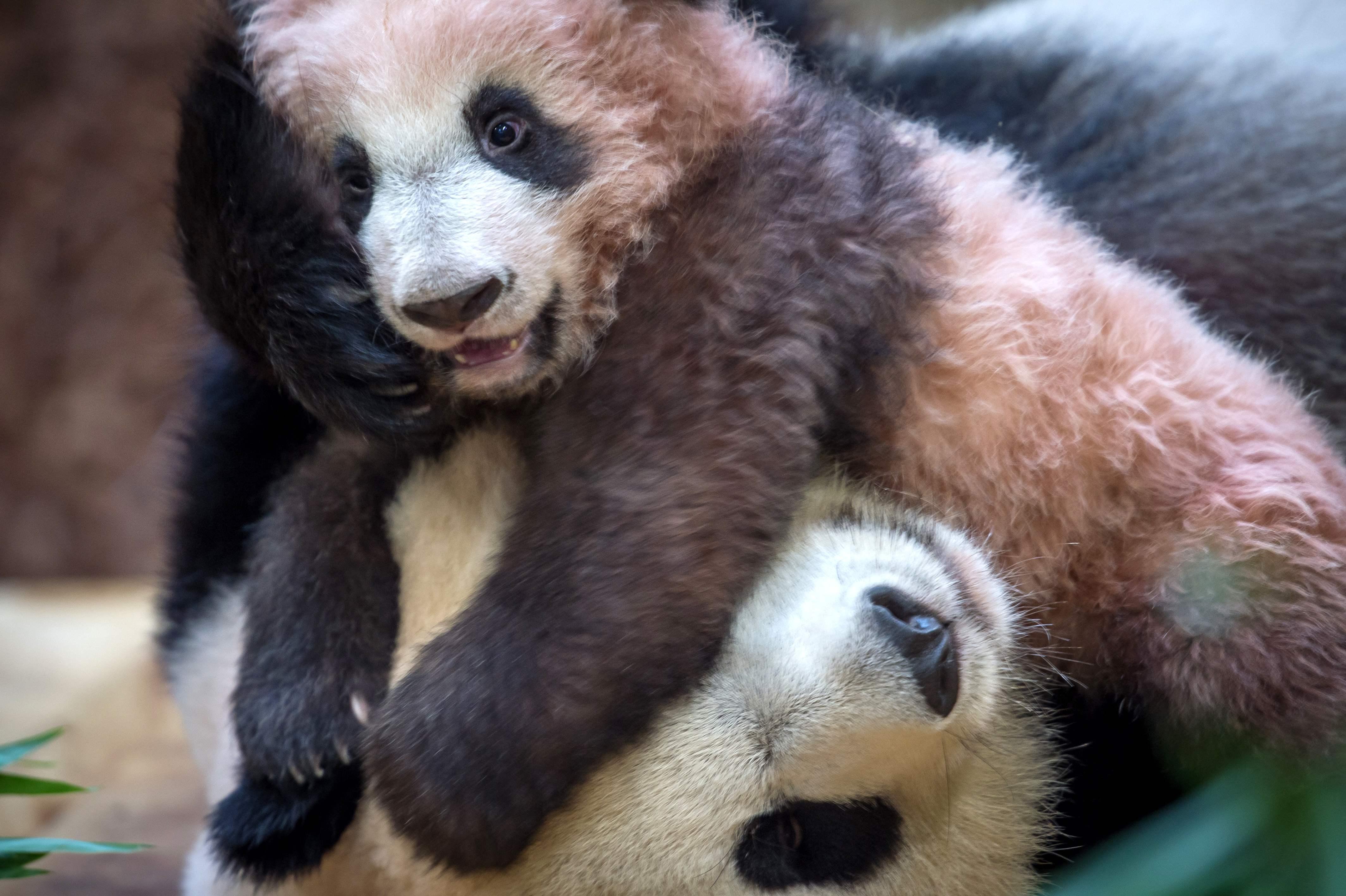 الباندا الصغيرة مع والدتها