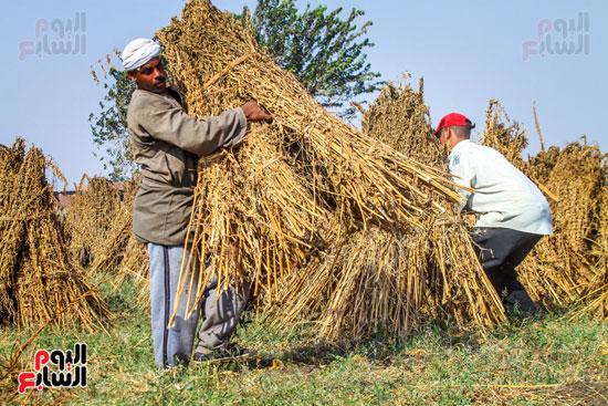 حصاد زراعة السمسم (8)