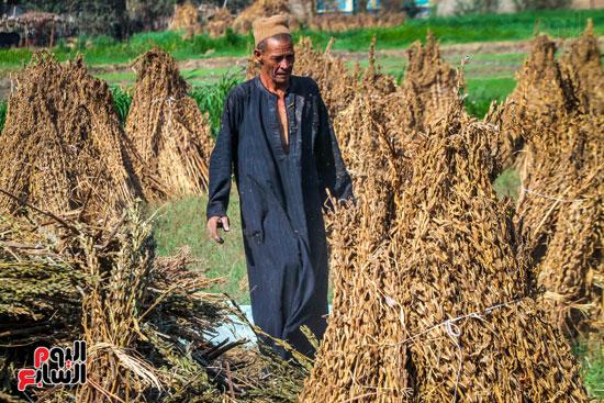 حصاد زراعة السمسم (3)