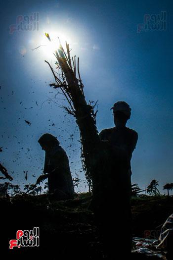 حصاد زراعة السمسم (15)