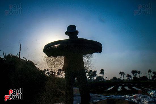 حصاد زراعة السمسم (21)