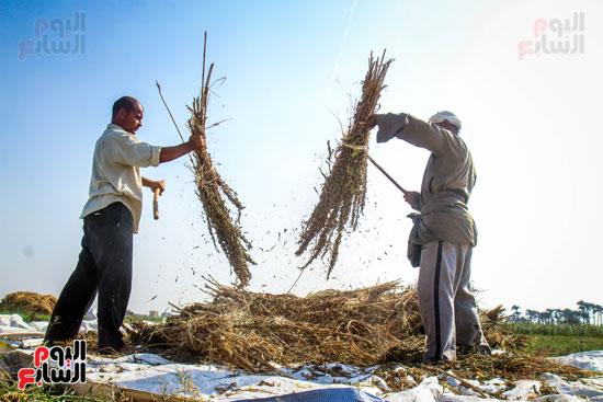 حصاد زراعة السمسم (5)