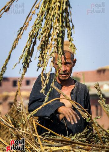 حصاد زراعة السمسم (2)