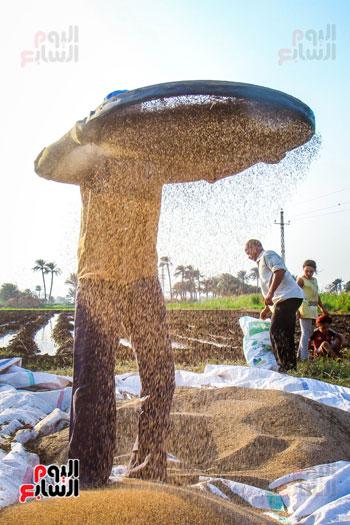 حصاد زراعة السمسم (23)