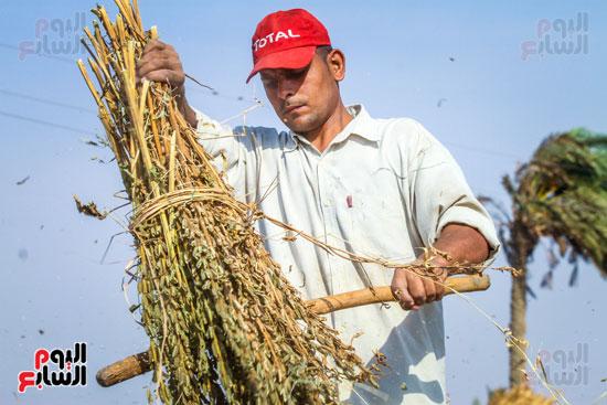 حصاد زراعة السمسم (7)