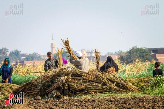 حصاد زراعة السمسم (12)