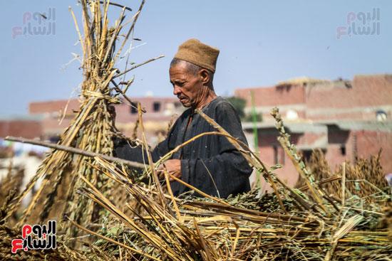 حصاد زراعة السمسم (1)