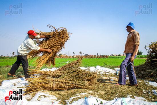 حصاد زراعة السمسم (9)