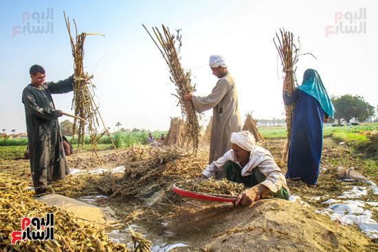 حصاد زراعة السمسم (17)