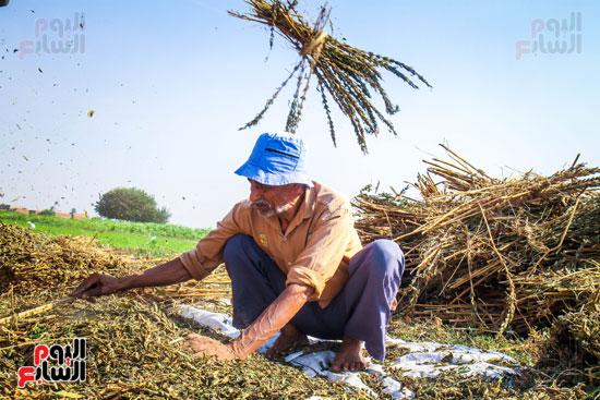 حصاد زراعة السمسم (6)