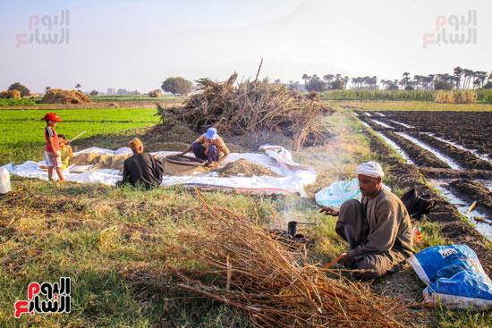 حصاد زراعة السمسم (20)
