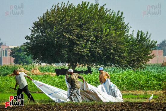 حصاد زراعة السمسم (4)