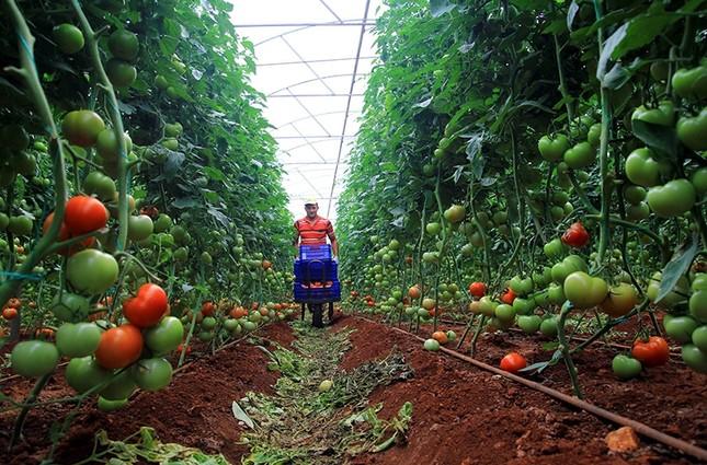 الطماطم الخضراء وسيلة خداع المصدرين لحملات التفتيش الإيرانية