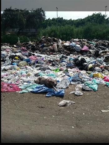 انتشار القمامة والمخلفات الطبية خلف مصنع طنطا للزيوت (2)