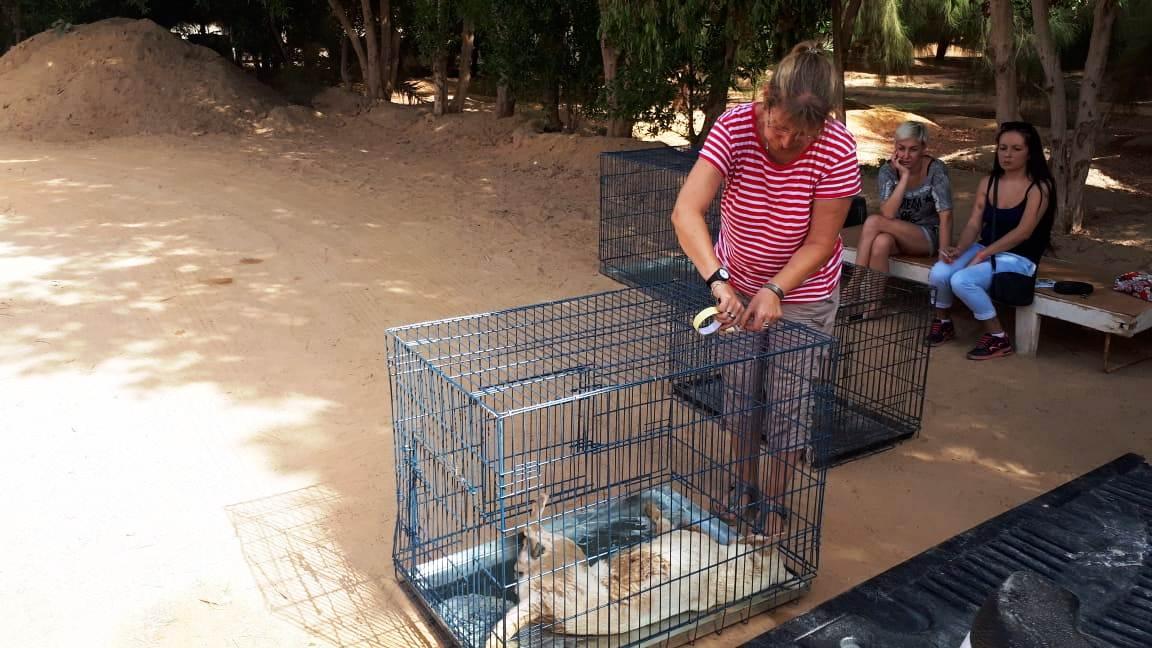الكلاب فى صناديق قبل إجراء العملية