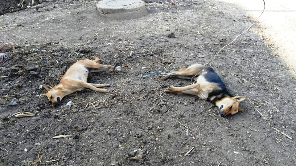 التخلص من الكلاب الضالة بسمها فب الغربية