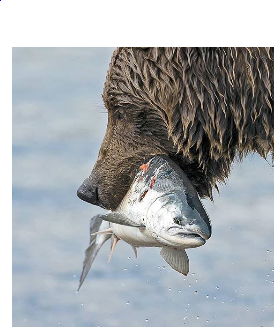 الدب يتمكن من السمكة