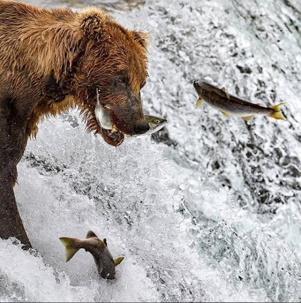 أكثر من سمك فى فم الدب