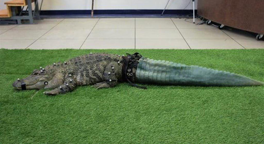 تمساح بذيل صناعى