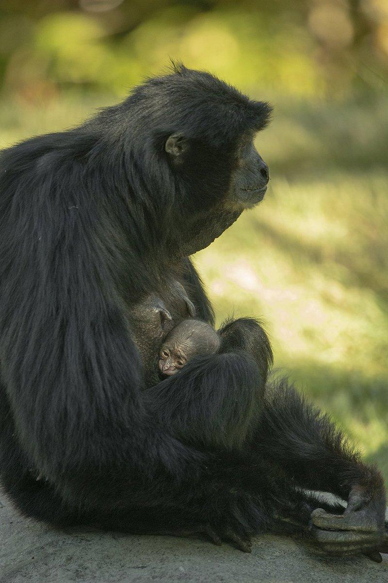 القردة إيلويس ورضيعها (2)