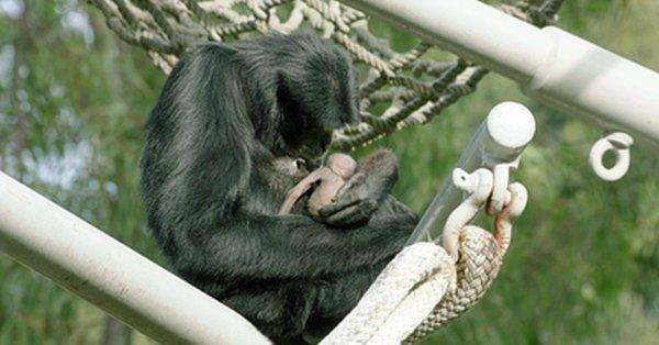 القرد الرضيع مع أمه