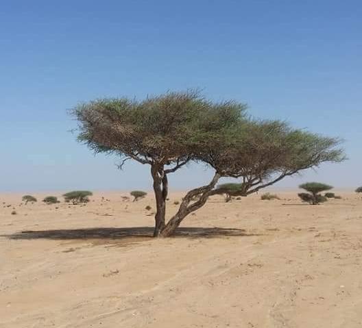 صور أشجار السمر المهددة بالإنقراض 60434-1