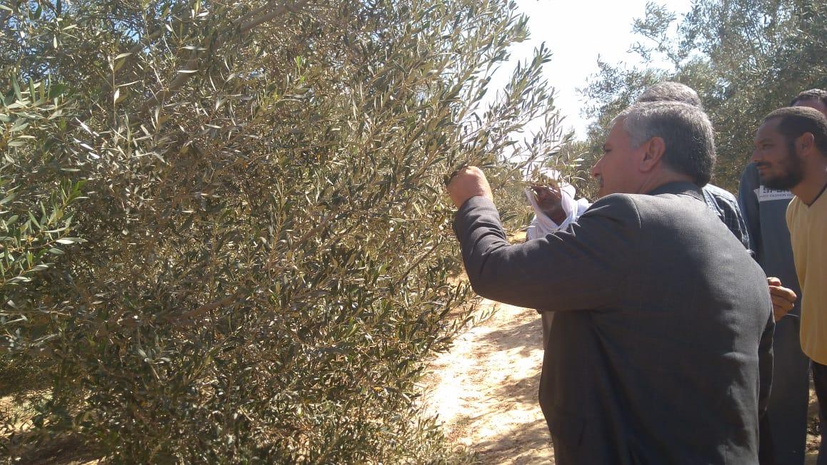 لجان  لفحص شكاوى مزارعي الزيتون (5)