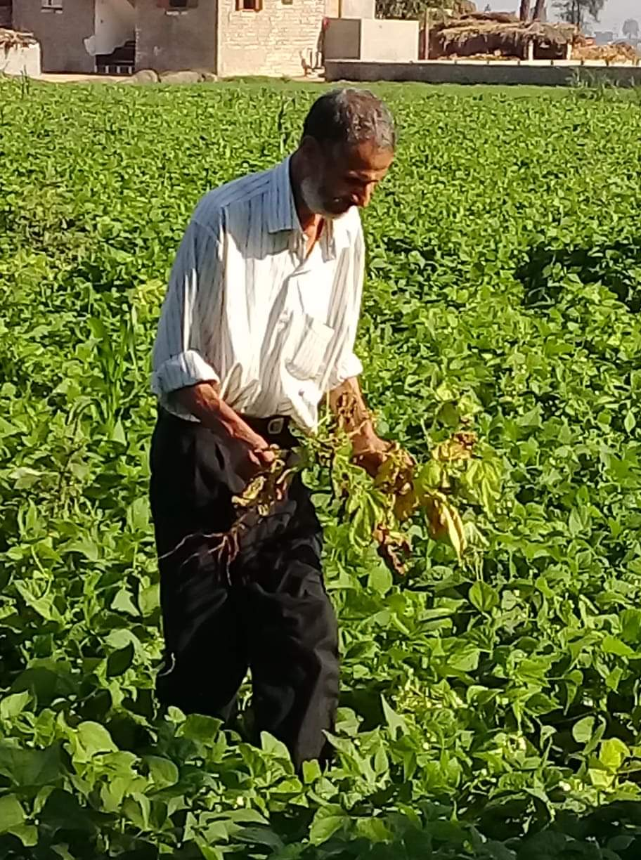 فحص زراعات الفاصوليا بمركز أبو المطامير بالبحيرة  (4)