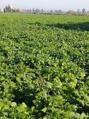 فحص زراعات الفاصوليا بمركز أبو المطامير بالبحيرة  (2)