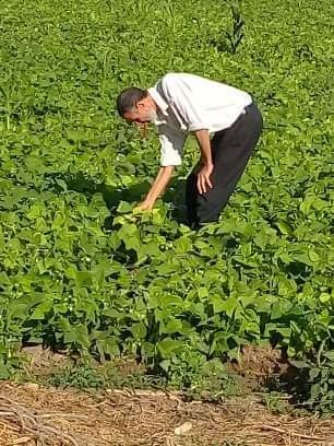 فحص زراعات الفاصوليا بمركز أبو المطامير بالبحيرة  (1)