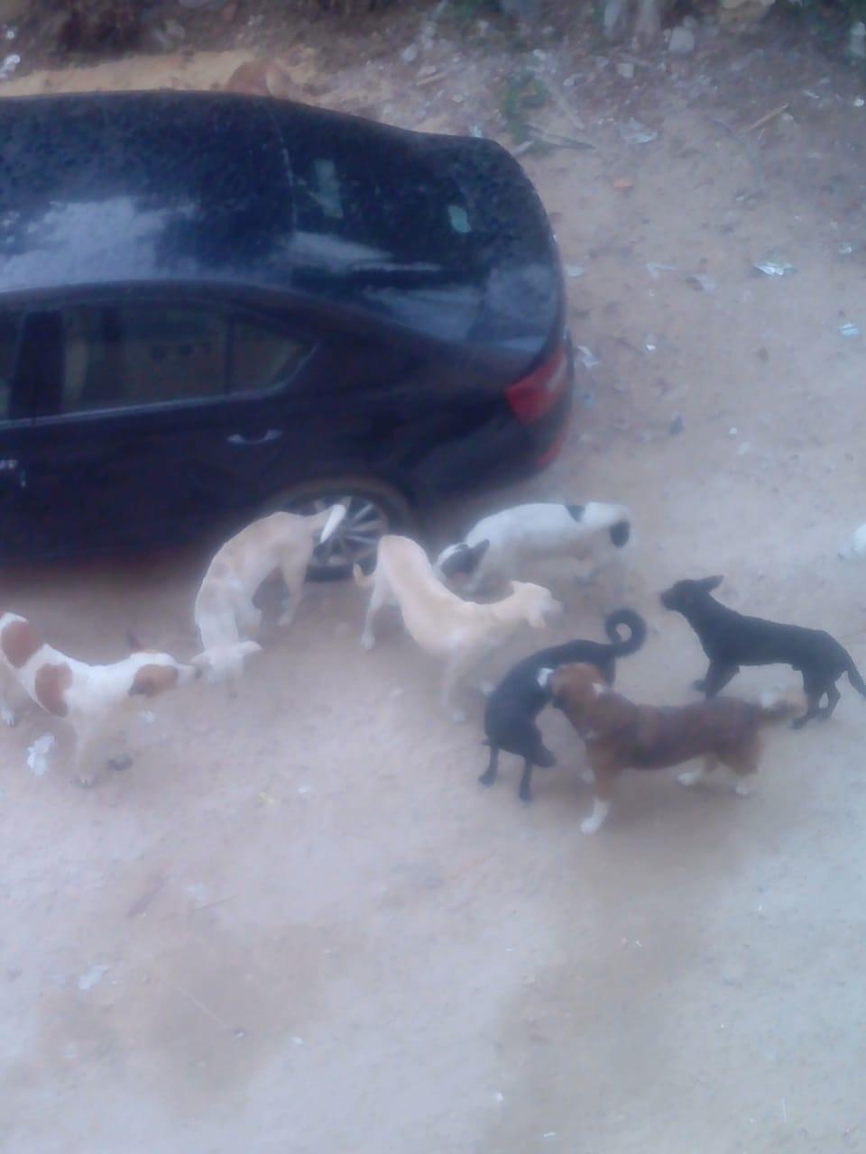 الكلاب الضالة بالشارع