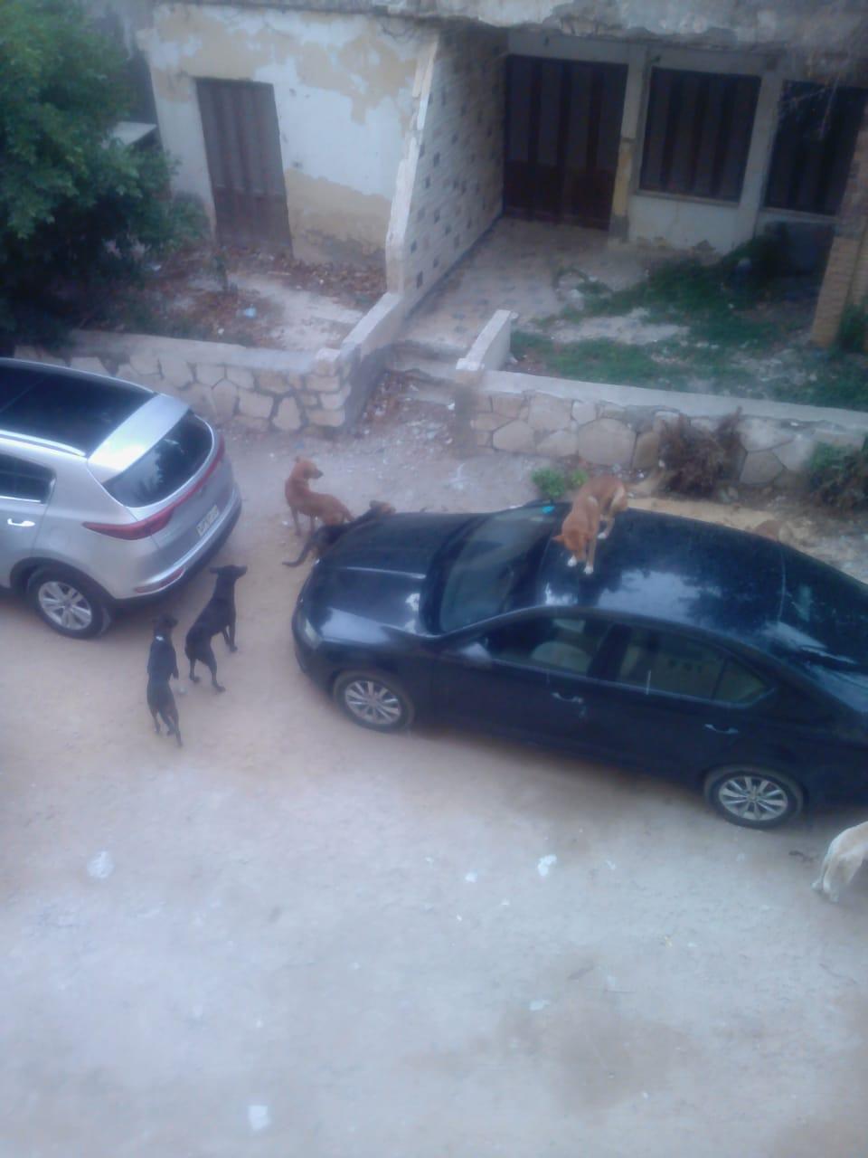 أعداد كبيرة من الكلاب الضالة