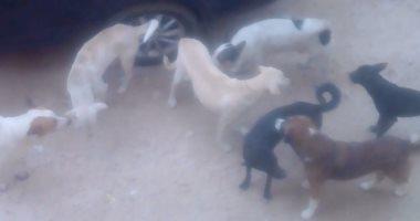 الكلاب الضالة بشارع موسى زايد بالإسكندرية