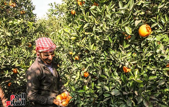 127843-حصاد-البرتقال-(1)