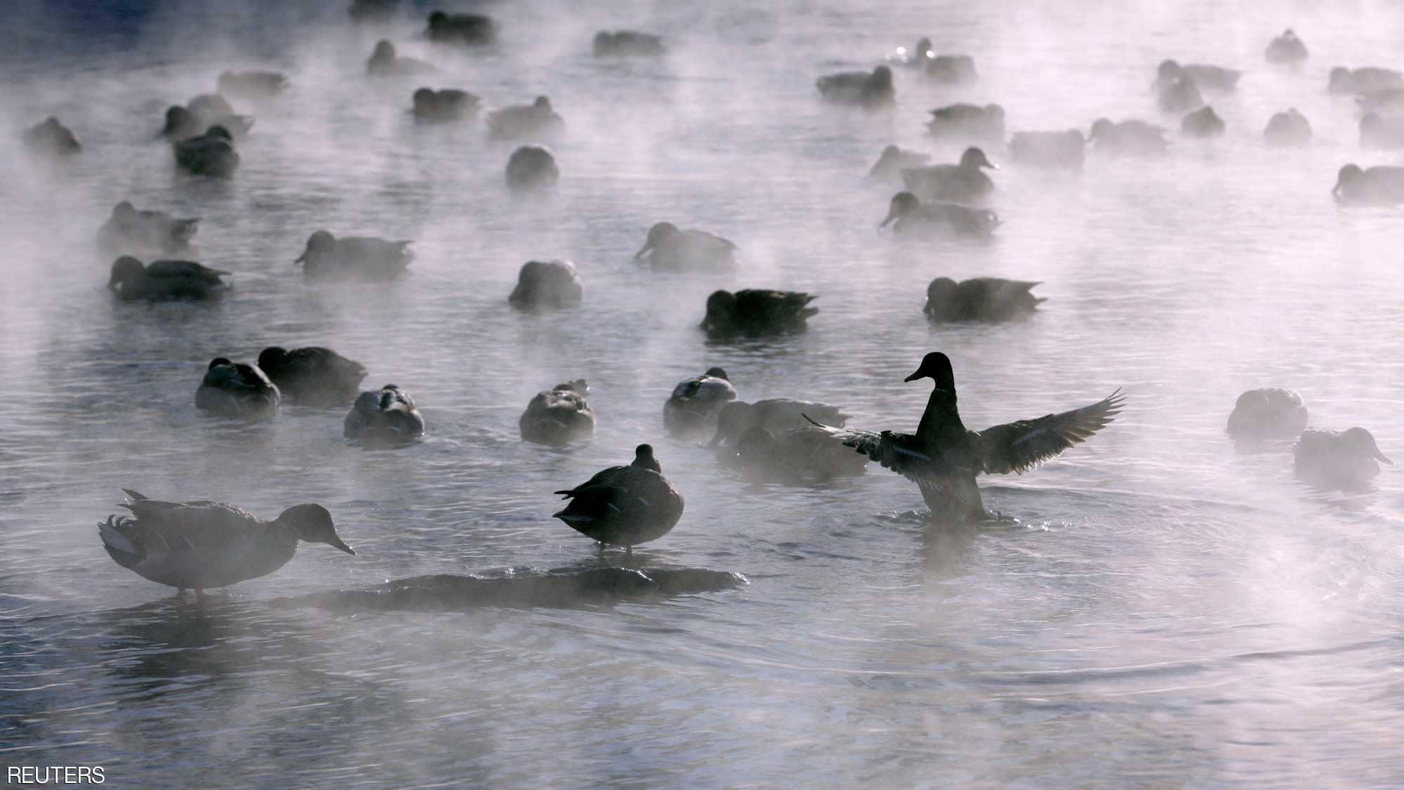 البط يعوم فى نهر يانيسى بمقاطعة سيبيريا الروسية