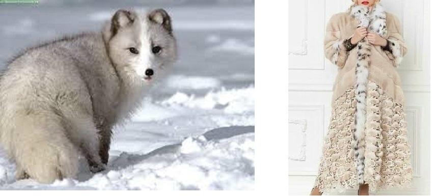 2- الثعلب القطبي