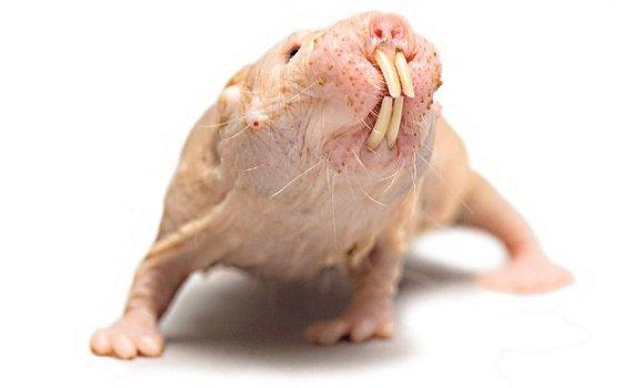 فأر الخلد العارى