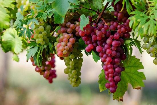 Seasonal-Grapes-4K-Wallpaper-960x640