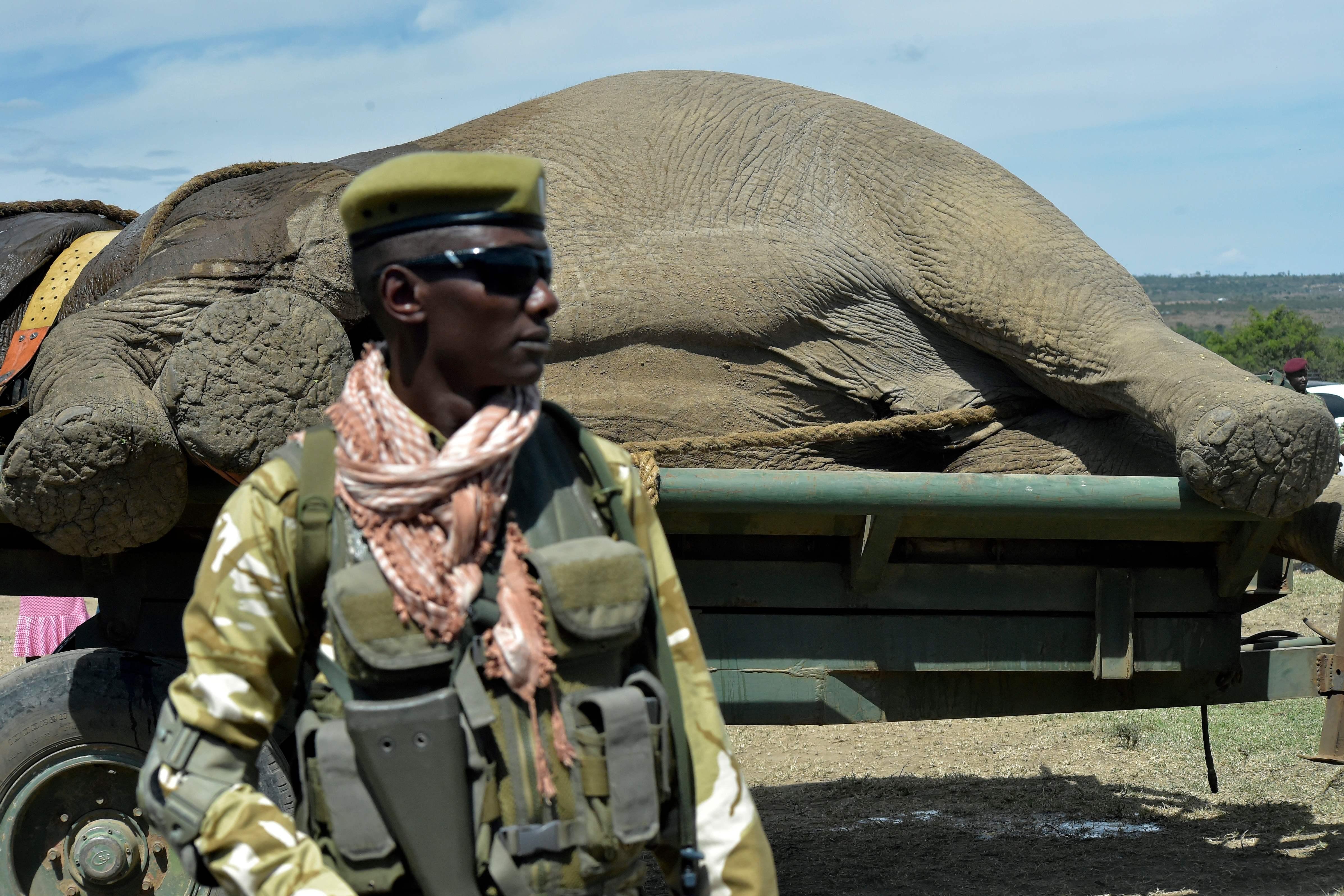 حارس أمن بجوار فيل