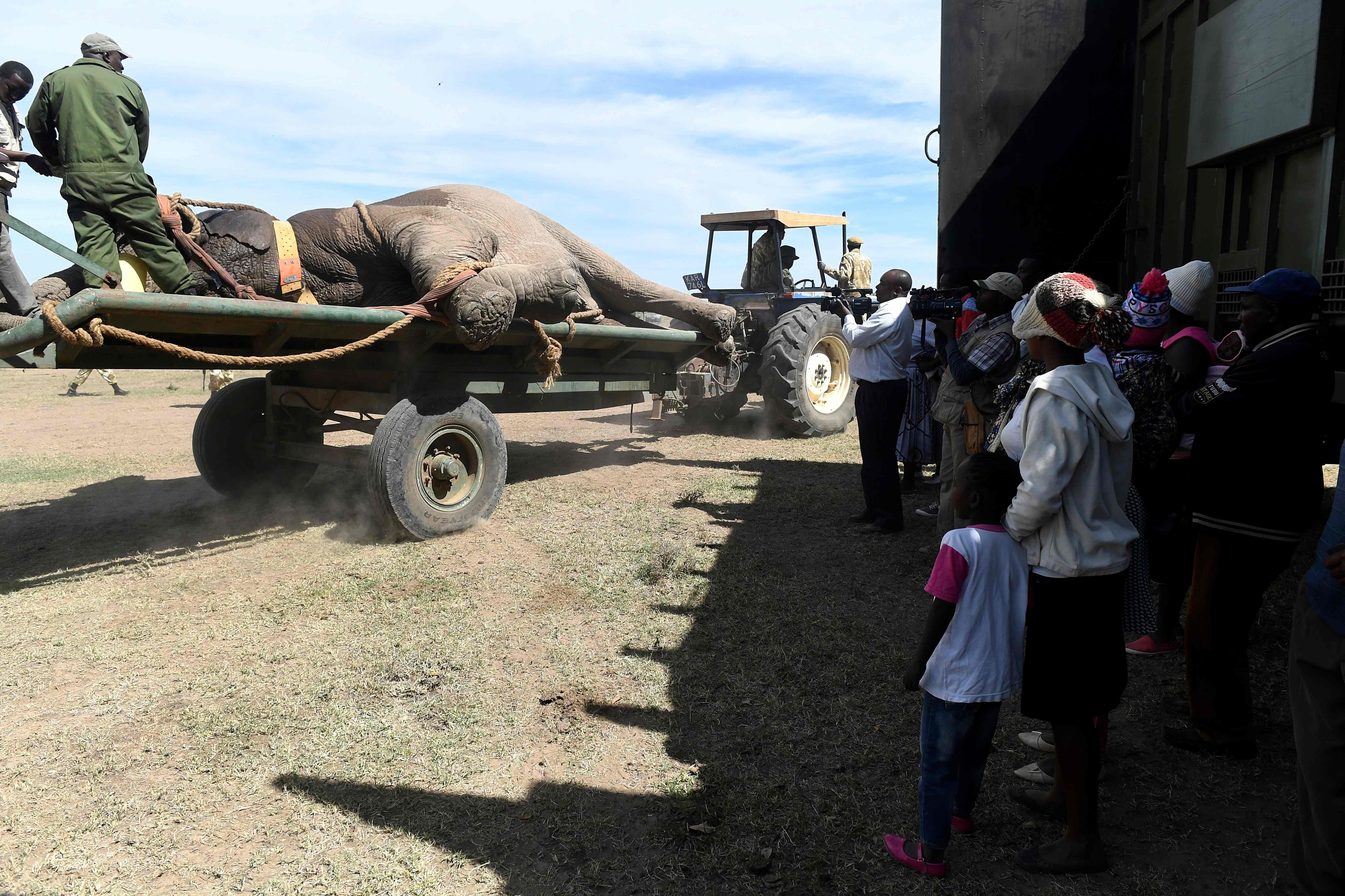 نقل الفيلة علي عربات نقل
