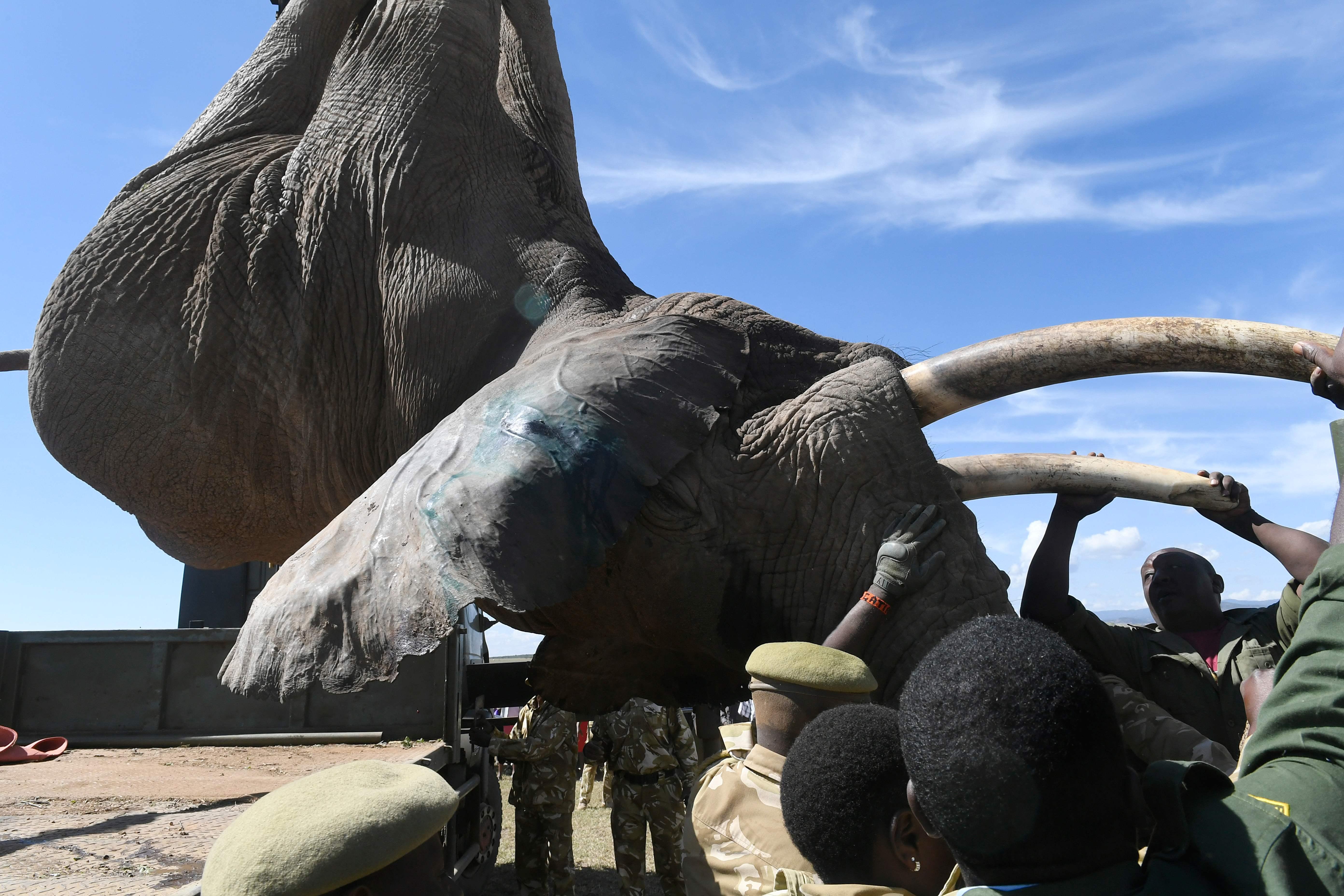 أنياب الفيل