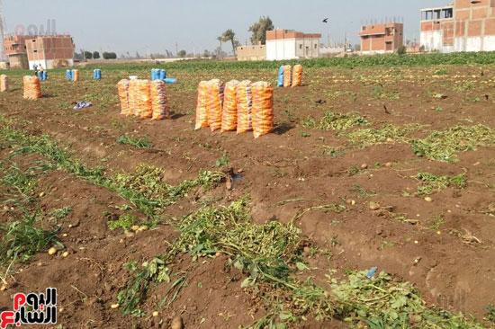 إنتاج البطاطس (1)