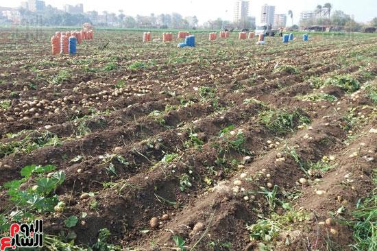 إنتاج البطاطس (2)