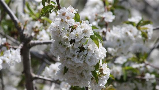 تزهير-أشجار-الفاكهة